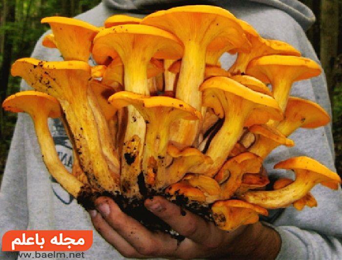 قارچهای فانوسی جک-اُ (Jack-o'-Lantern),مسمومیت با قارچ های سمی