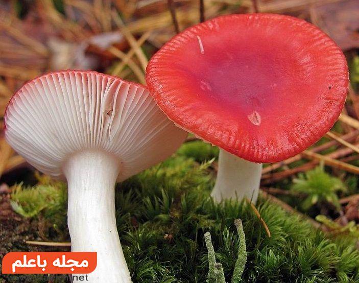 قارچهای راسولا (Russulas),مسمومیت با قارچ های سمی